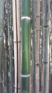 Bambusgewächse 2