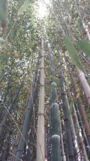 Bambusgewächse 1