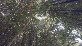 Bambusgewächse 3